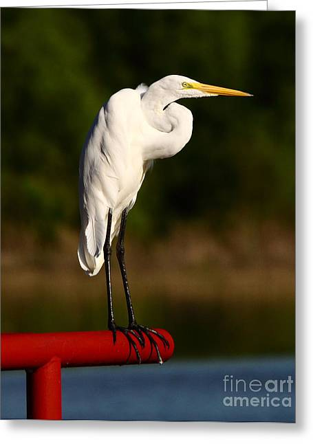 Wade Fishing Greeting Cards - Egret WIth Knot In Neck Greeting Card by Robert Frederick