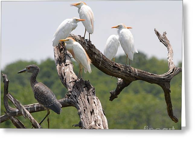 Ruth Housley Greeting Cards - Egrets and Black Crown Night Heron Greeting Card by Ruth  Housley