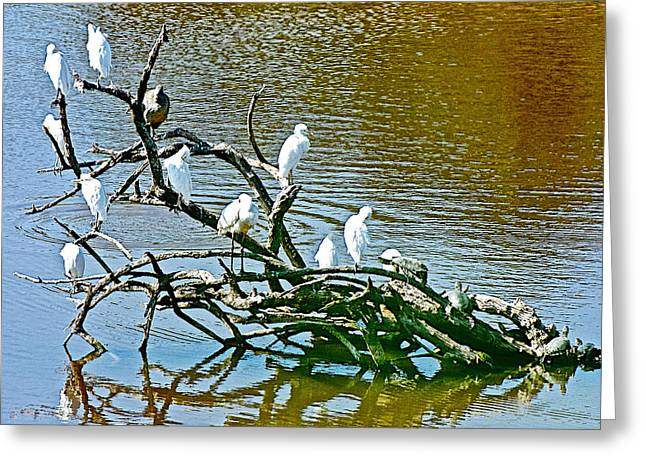Port Elizabeth Greeting Cards - Egrets and Turtles Share Tree Limbs in River in Addo Elephant Park near Port Elizabeth-South Africa Greeting Card by Ruth Hager