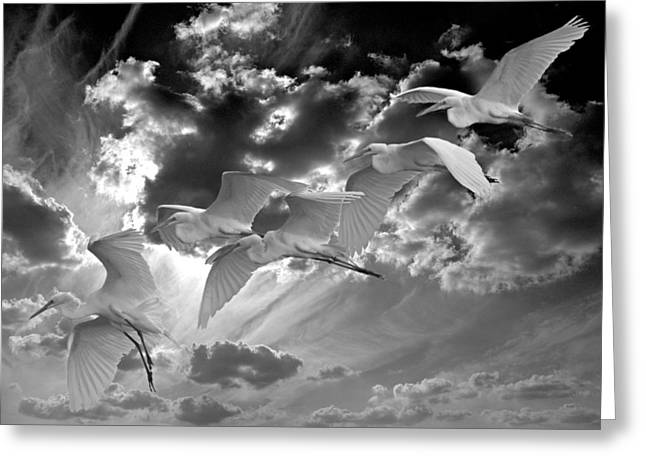 Water Fowl Greeting Cards - Egrets In Succession BW Greeting Card by Roy Williams