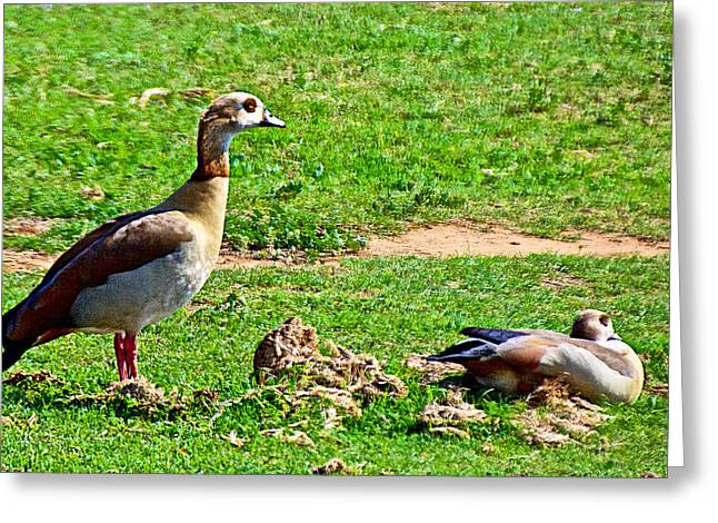 Port Elizabeth Greeting Cards - Egyptian Geese in Addo Elephant Park near Port Elizabeth-South Africa Greeting Card by Ruth Hager