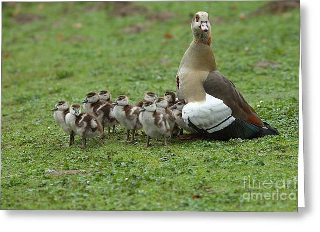 Mother Goose Greeting Cards - Egyptian Goose And Goslings Greeting Card by Helmut Pieper