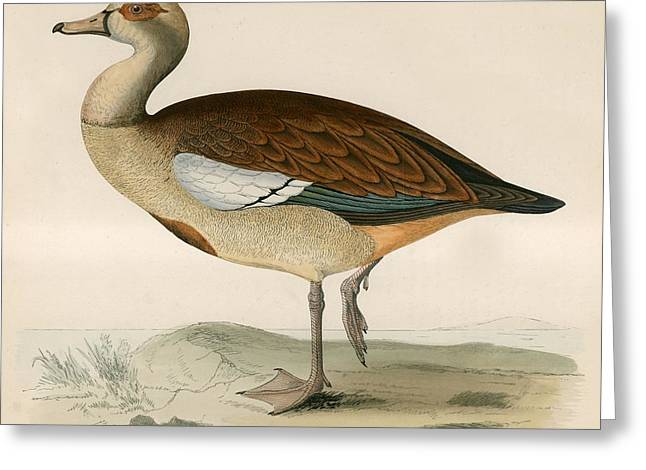 Hunting Bird Greeting Cards - Egyptian Goose Greeting Card by Beverley R. Morris