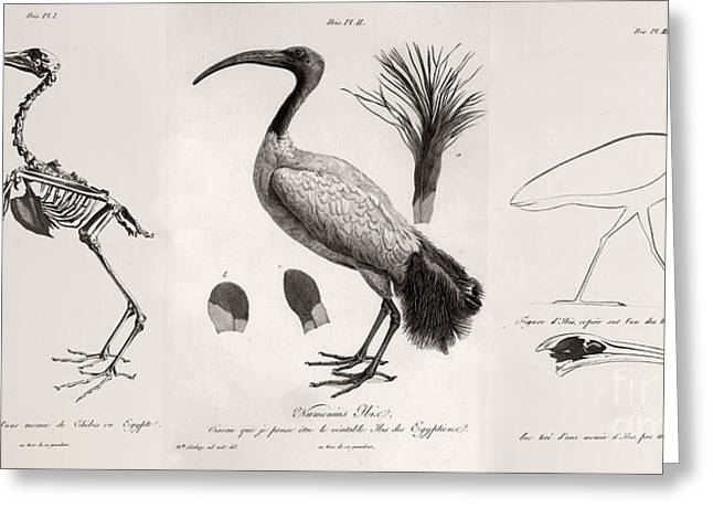 The Mummy Greeting Cards - Egyptian Ibis, Cuvier Plates, 1812 Greeting Card by Paul D. Stewart