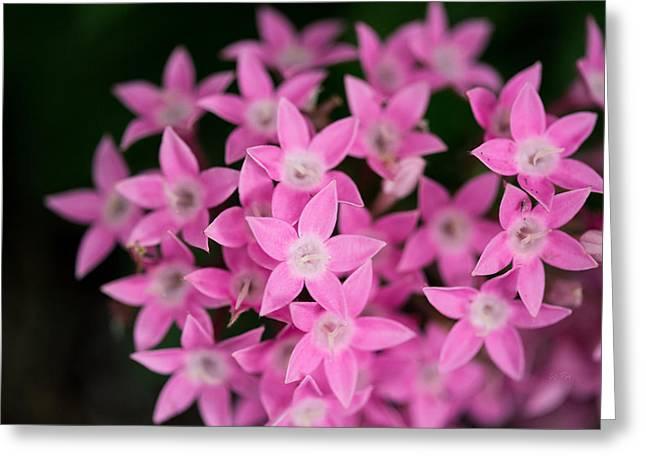 Stamen Digital Art Greeting Cards - Egyptian Star Flowers or Penta Greeting Card by Eti Reid