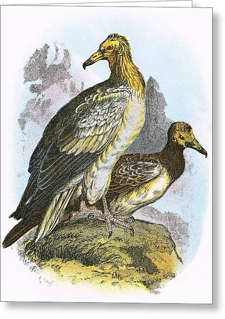 Egyptian Vulture Greeting Card by English School