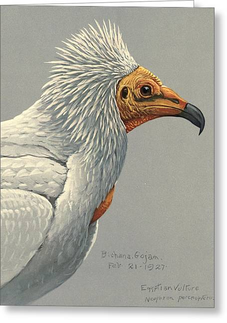 1874 Greeting Cards - Egyption Vulture Greeting Card by Louis Agassiz Fuertes