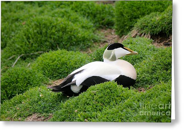 Seabirds Greeting Cards - Eider Greeting Card by David Grant