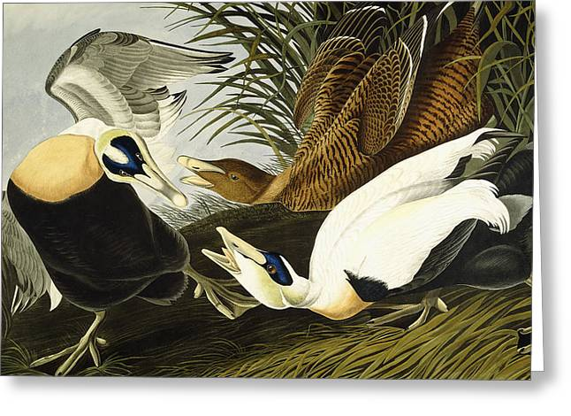Duck Greeting Cards - Eider Ducks Greeting Card by John James Audubon