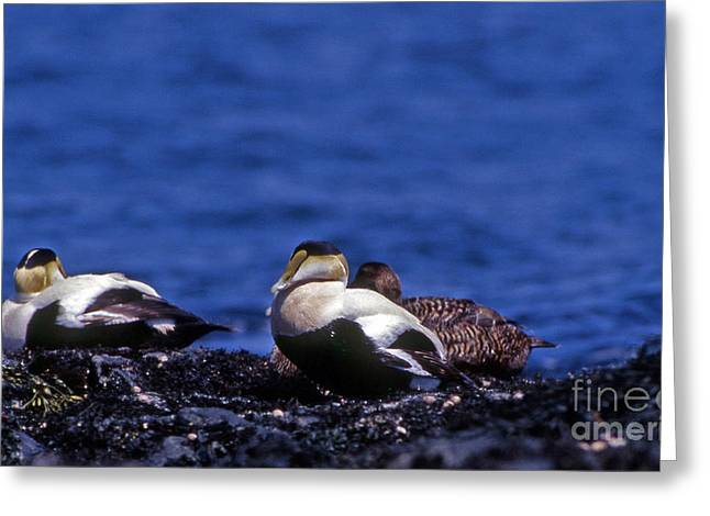 Photos Of Birds Greeting Cards - Eider Stalk  Greeting Card by Skip Willits