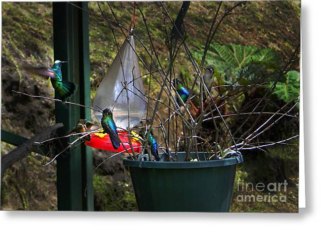 Hovering Greeting Cards - Eight Hummingbirds on Volcan Irazu Greeting Card by Al Bourassa