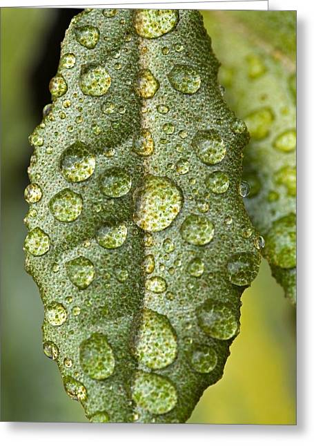 Stellate Photographs Greeting Cards - Elaeagnus pungens Maculata Greeting Card by Science Photo Library