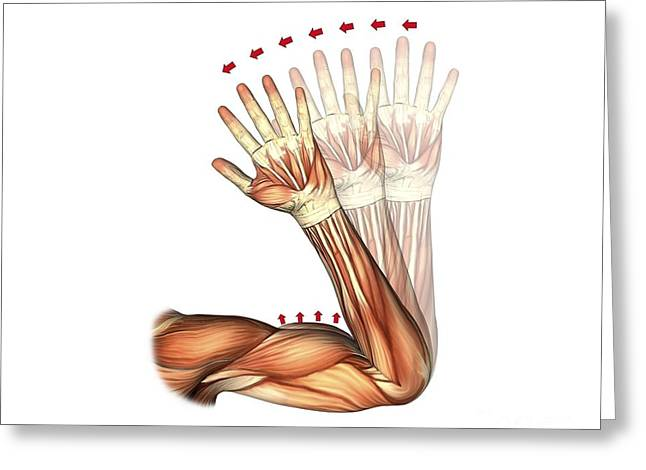 Biomechanics Greeting Cards - Elbow Flexion, Artwork Greeting Card by D & L Graphics