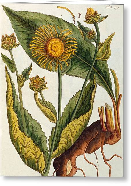Green Leafs Drawings Greeting Cards - Elecampane Greeting Card by Elizabeth Blackwell