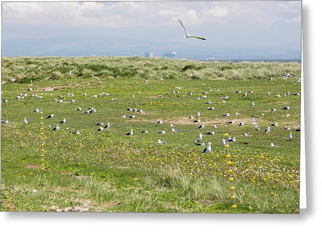 Electric Fence To Protect Nesting Gulls Greeting Card by Ashley Cooper