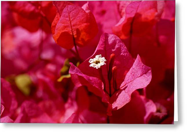Bougainvilleas Greeting Cards - Electric Pink Bougainvillea Greeting Card by Rona Black