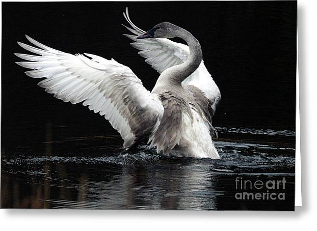 Water Fowl Photographs Greeting Cards - Elegance in Motion 2 Greeting Card by Sharon  Talson