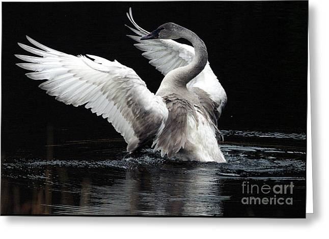 Trumpeters Greeting Cards - Elegance in Motion 2 Greeting Card by Sharon  Talson