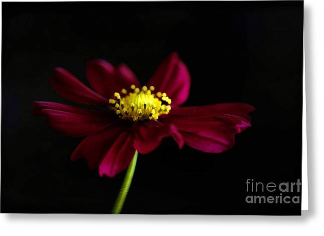 Dancing Petals Greeting Cards - Elegance of a Cosmo Greeting Card by Darren Fisher