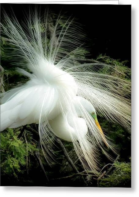 Snowy Egret Greeting Cards - ELEGANCE of CREATION Greeting Card by Karen Wiles