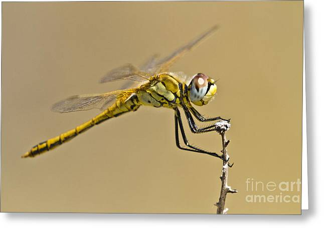 Zoologic Greeting Cards - Elegant Dragonfly Greeting Card by Heiko Koehrer-Wagner