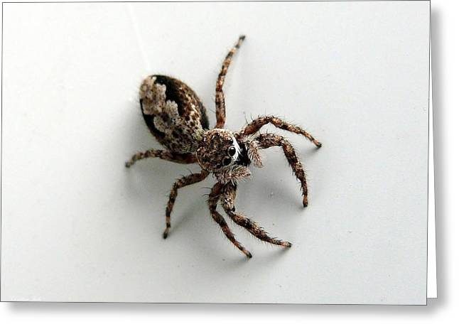 Elegant Jumping Spider Greeting Cards - Elegant Jumping Spider Greeting Card by Christina Rollo