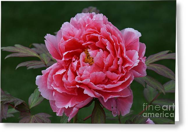 Faa Featured Greeting Cards - Elegant Peony Greeting Card by Zori Minkova