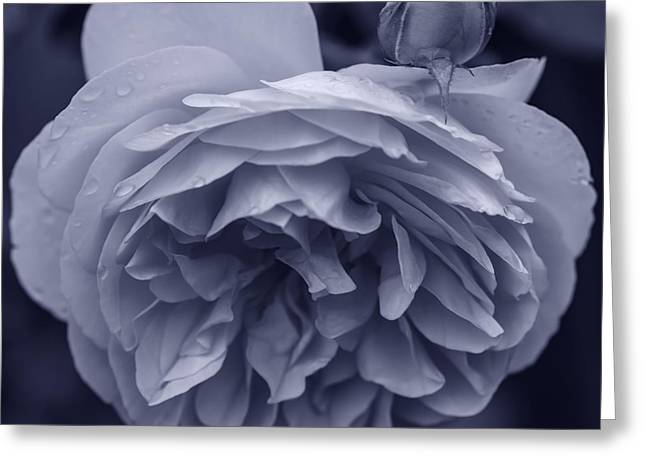 Roses In Bud Greeting Cards - Elegant rose and bud Greeting Card by Vishwanath Bhat