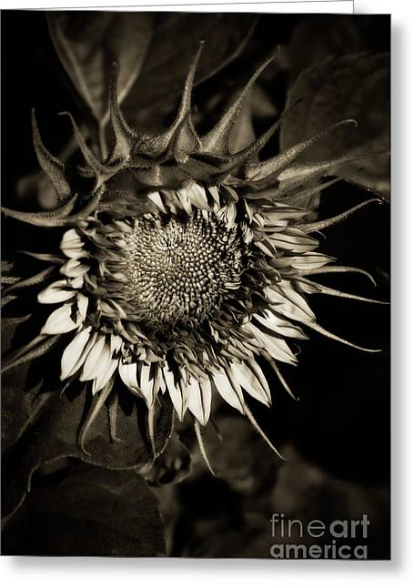 Van Dusen Botanical Garden Greeting Cards - Elegant Sunflower Greeting Card by Venetta Archer