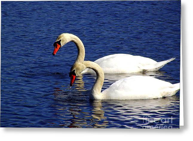Elegant Swan Pair  Greeting Card by CapeScapes Fine Art Photography