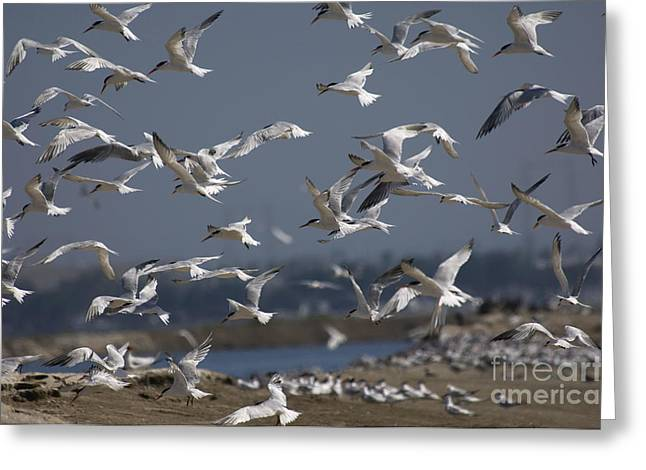 Flying Animal Greeting Cards - Elegant Terns Greeting Card by Anthony Mercieca