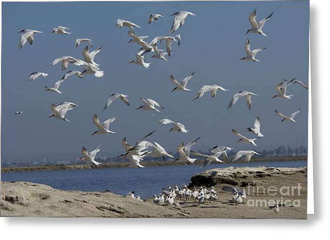 Elegant Terns Protect Creche Greeting Card by Anthony Mercieca