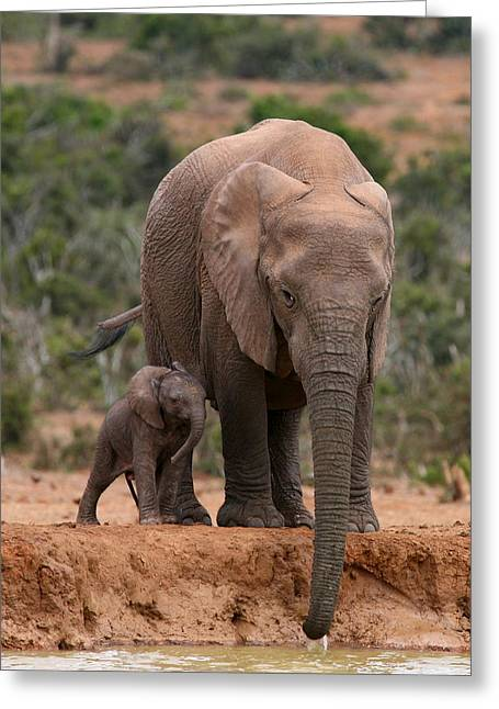 Addo Greeting Cards - Elephant And Calf At Waterhole Greeting Card by Bruce J Robinson