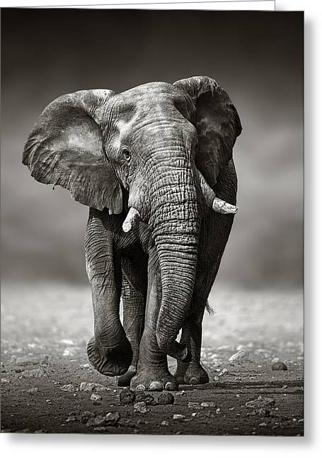 Sepia Greeting Cards - Elephant approach from the front Greeting Card by Johan Swanepoel