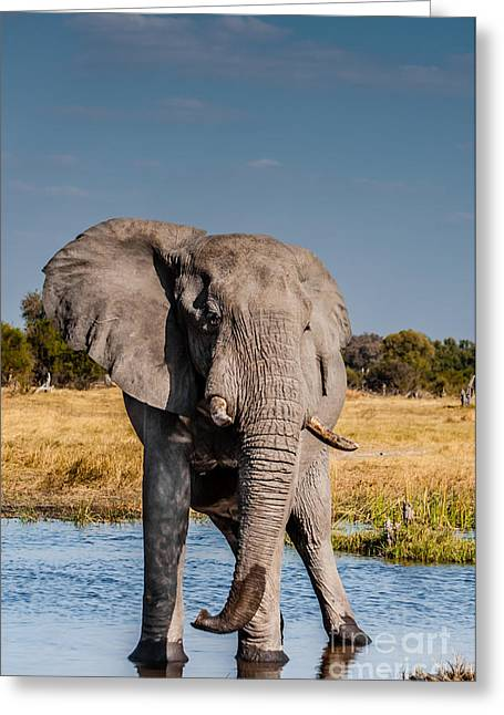 African Heritage Greeting Cards - Elephant Bull Greeting Card by Jacques Jacobsz
