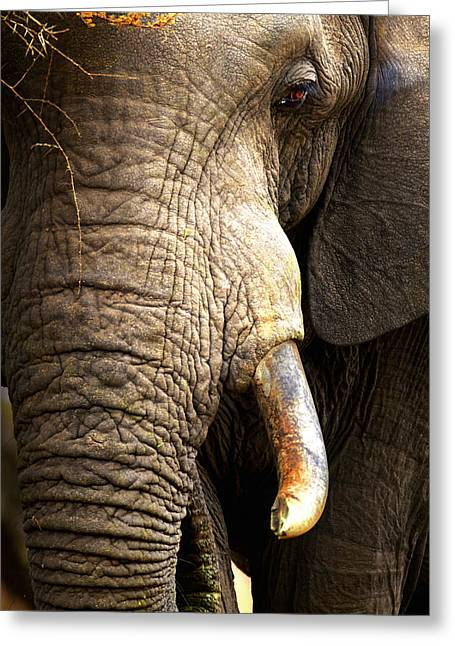 Tough Greeting Cards - Elephant close-up portrait Greeting Card by Johan Swanepoel