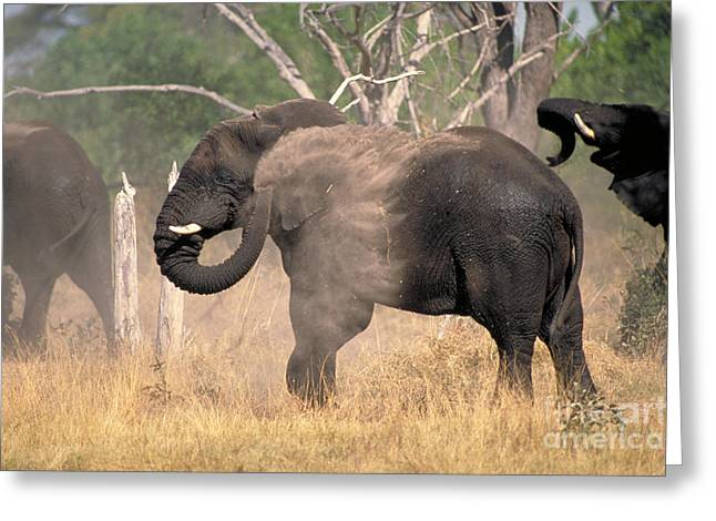 Protected Species Greeting Cards - Elephant Dust Bathing Greeting Card by Gregory G. Dimijian