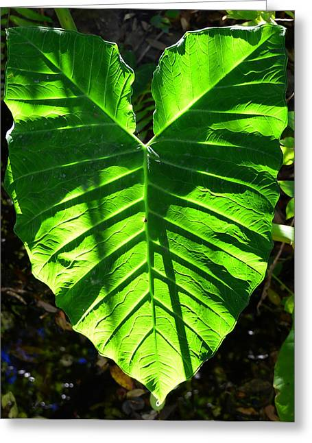 Elephant Ear Plant Greeting Cards - Elephant ear plant Greeting Card by David Lee Thompson