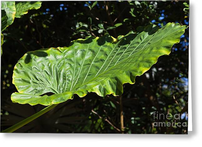 Elephant Ear Plant Greeting Cards - Elephant Ear Plant Greeting Card by Juan  Silva
