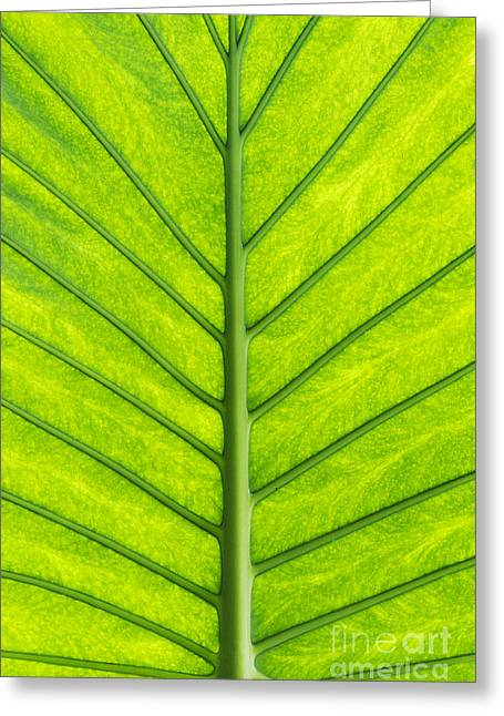 Elephant Ear Plant Greeting Cards - Elephant Ear Taro Leaf Pattern Greeting Card by Tim Gainey