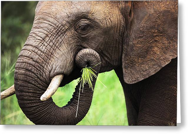 One Photograph Greeting Cards - Elephant eating close-up Greeting Card by Johan Swanepoel