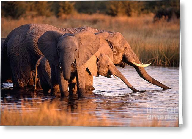 Elephant Drinking Greeting Cards - Elephant Herd Drinking Greeting Card by Gregory G. Dimijian, M.D.