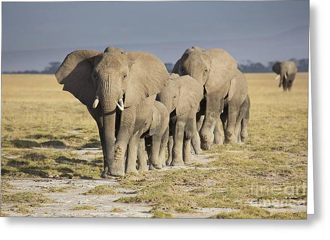 Elephant Photographs Greeting Cards - Elephant herd  Greeting Card by Richard Garvey-Williams