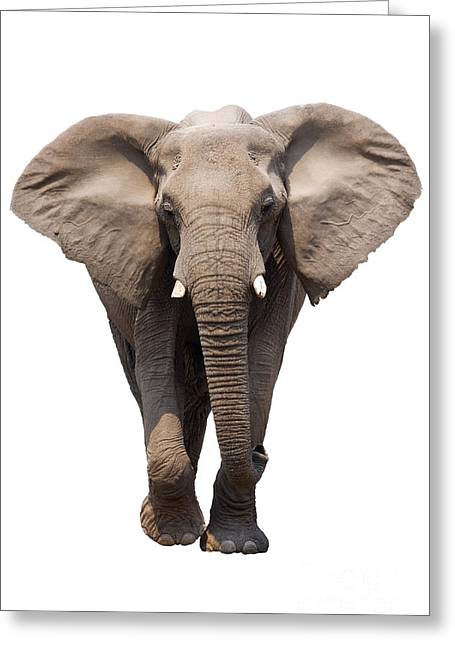 Powerful Greeting Cards - Elephant isolated Greeting Card by Johan Swanepoel