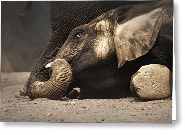 Play Photographs Greeting Cards - Elephant - lying down Greeting Card by Johan Swanepoel