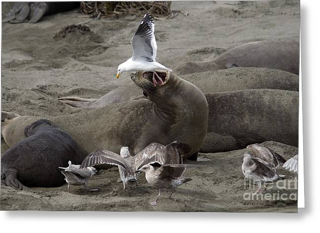 Elephant Seals Greeting Cards - Elephant Seal Bites Gull Greeting Card by Mark Newman