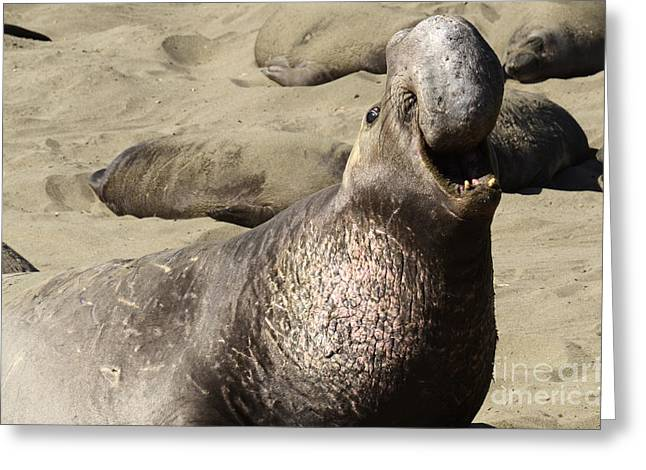 Mating Season Greeting Cards - Elephant Seal Greeting Card by Bob Christopher