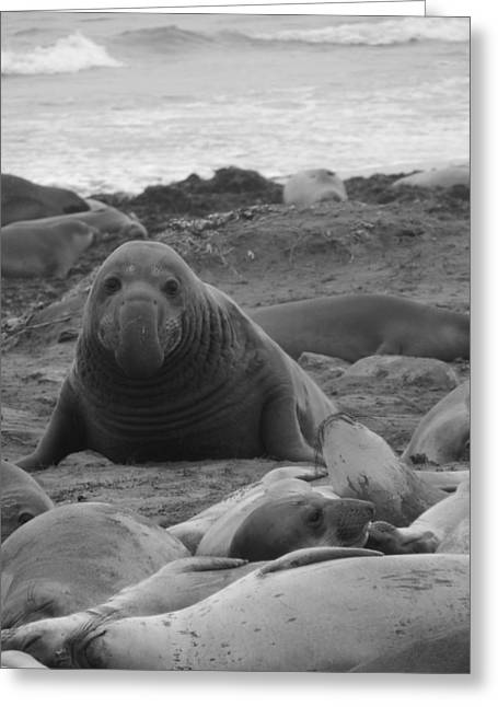 Elephant Seal Bull Greeting Card by Gwendolyn Barnhart