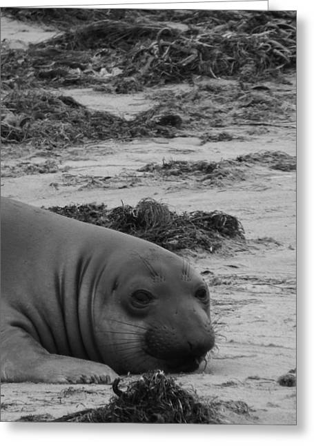 Ano Nuevo Photographs Greeting Cards - Elephant Seal Conteplation Greeting Card by Gwendolyn Barnhart