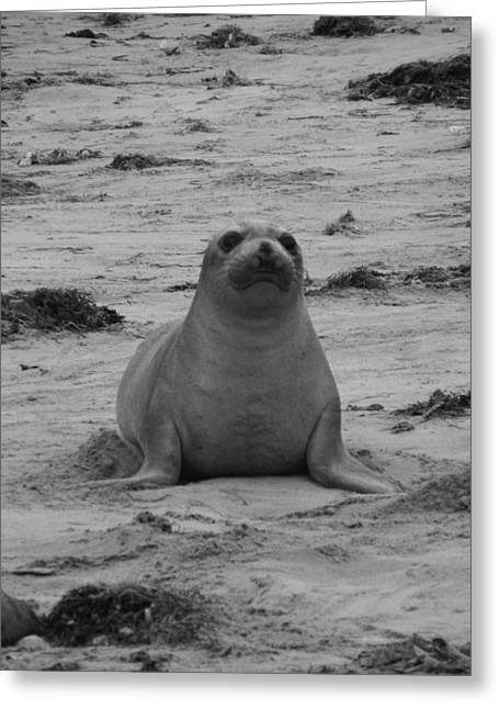 Ano Nuevo Photographs Greeting Cards - Elephant Seal Greeting Card by Gwendolyn Barnhart